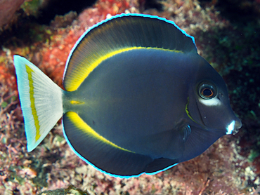 Whitecheek Surgeonfish - Acanthurus nigricans - Great Barrier Reef, Australia