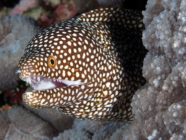 Whitemouth Moray Eel - Gymnothorax meleagris - Great Barrier Reef, Australia