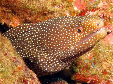 Whitemouth Moray Eel - Gymnothorax meleagris - Lanai, Hawaii