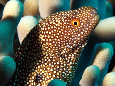 Whitemouth Moray Eel - Gymnothorax meleagris - Big Island, Hawaii