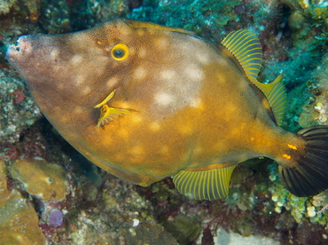 Whitespotted Filefish - Cantherhines macrocerus - Belize