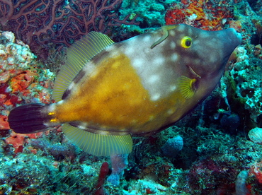 Whitespotted Filefish - Cantherhines macrocerus - Palm Beach, Florida