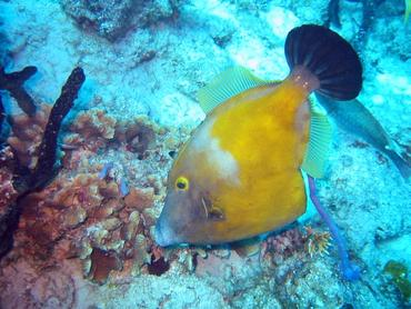 Whitespotted Filefish - Cantherhines macrocerus - Bimini, Bahamas