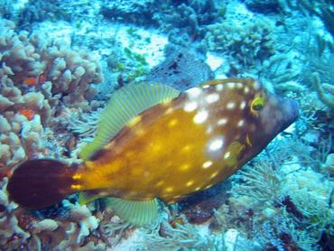 Whitespotted Filefish - Cantherhines macrocerus - Cozumel, Mexico