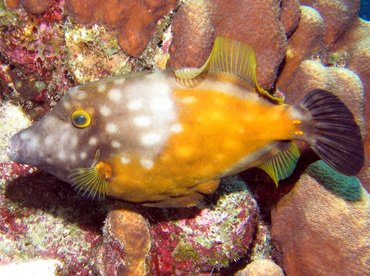 Whitespotted Filefish - Cantherhines macrocerus - Bonaire