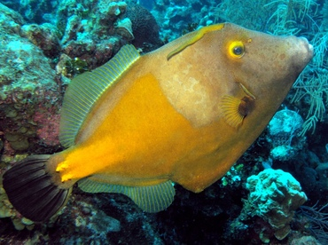 Whitespotted Filefish - Cantherhines macrocerus - Grand Cayman