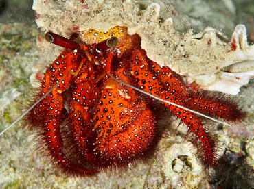 White-Spotted Hermit Crab - Dardanus megistos - Wakatobi, Indonesia