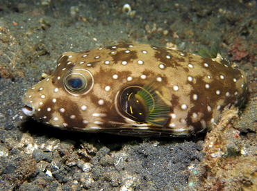 Whitespotted Puffer - Arothron hispidus - Lembeh Strait, Indonesia