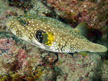 Whitespotted Puffer - Arothron hispidus - Cabo San Lucas, Mexico