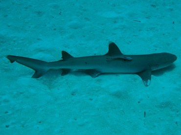 Whitetip Reef Shark - Triaenodon obesus - Palau
