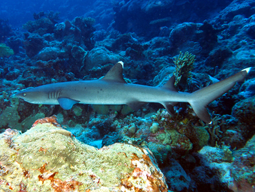 Whitetip Reef Shark - Triaenodon obesus - Great Barrier Reef, Australia