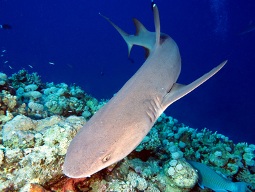 Whitetip Reef Shark - Triaenodon obesus - Coral Sea, Australia