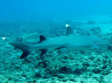Whitetip Reef Shark - Triaenodon obesus - Maui, Hawaii