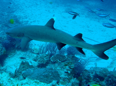 Whitetip Reef Shark - Triaenodon obesus - Fiji