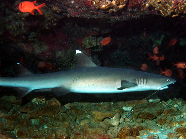 Whitetip Reef Shark - Triaenodon obesus - Big Island, Hawaii