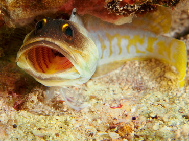 Yellowbarred Jawfish - Opistognathus randalli - Anilao, Philippines