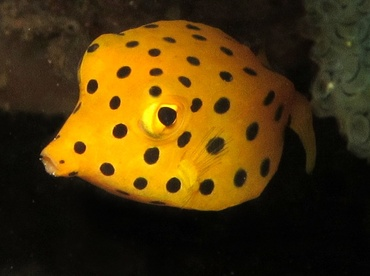 Yellow Boxfish - Ostracion cubicus - Dumaguete, Philippines
