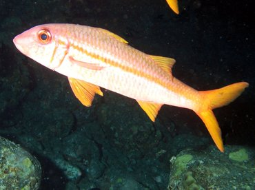 Yellowfin Goatfish - Mulloidichthys vanicolensis - Big Island, Hawaii