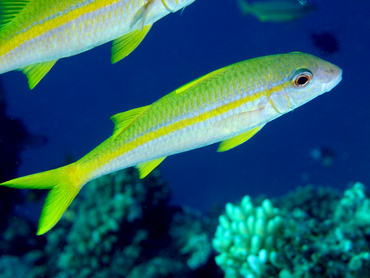 Yellowfin Goatfish - Mulloidichthys vanicolensis - Great Barrier Reef, Australia