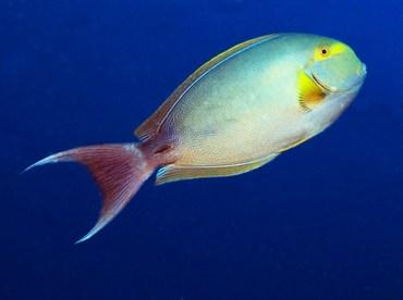 Yellowfin Surgeonfish - Acanthurus xanthopterus - Palau