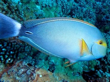 Yellowfin Surgeonfish - Acanthurus xanthopterus - Maui, Hawaii