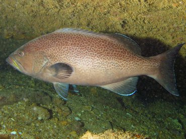 Yellowmouth Grouper - Mycteroperca interstitialis ...Yellowmouth Grouper