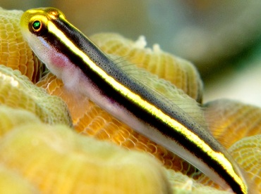 Yellownose Goby - Elacatinus randalli - Bonaire