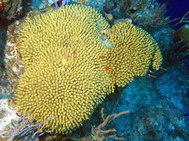 Yellow Pencil Coral - Madracis mirabilis - Turks and Caicos