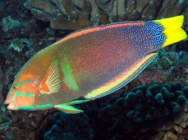 Yellowtail Coris - Coris gaimard - Big Island, Hawaii