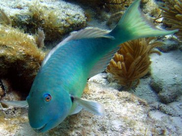 Yellowtail Parrotfish - Sparisoma rubripinne - Key Largo, Florida