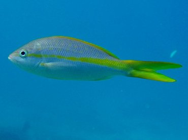Yellowtail Snapper - Ocyurus chrysurus - Key Largo, Florida