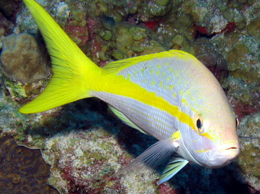 Yellowtail Snapper - Ocyurus chrysurus - Grand Cayman