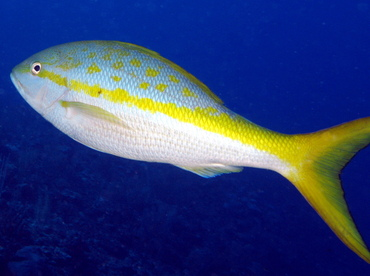 Yellowtail Snapper - Ocyurus chrysurus - Belize