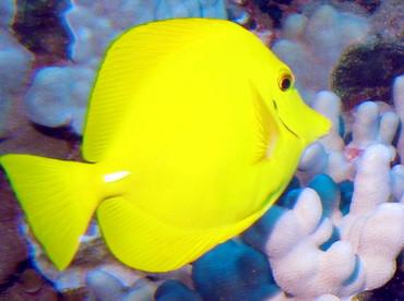 Yellow Tang - Zebrasoma flavescens - Lanai, Hawaii