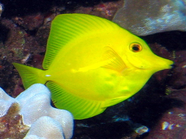 Yellow Tang - Zebrasoma flavescens - Lanai, Hawaii