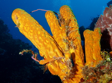 Yellow Tube Sponge - Aplysina fistularis - Cozumel, Mexico