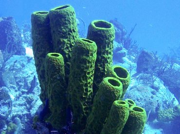 Yellow Tube Sponge - Aplysina fistularis - Turks and Caicos