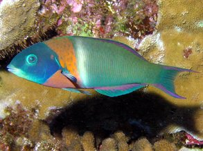 Florent 39 s guide to the tropical reefs fish creatures for Types of fish in hawaii