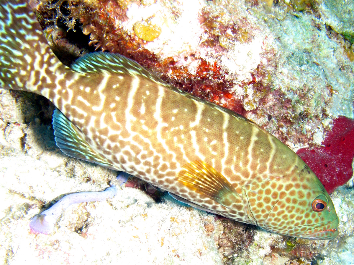 Tiger Grouper - Mycteroperca tigris