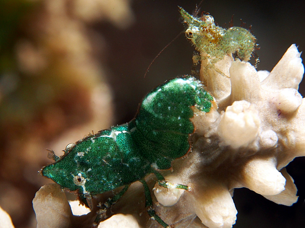 Roughback Shrimp - Trachycaris rugosa