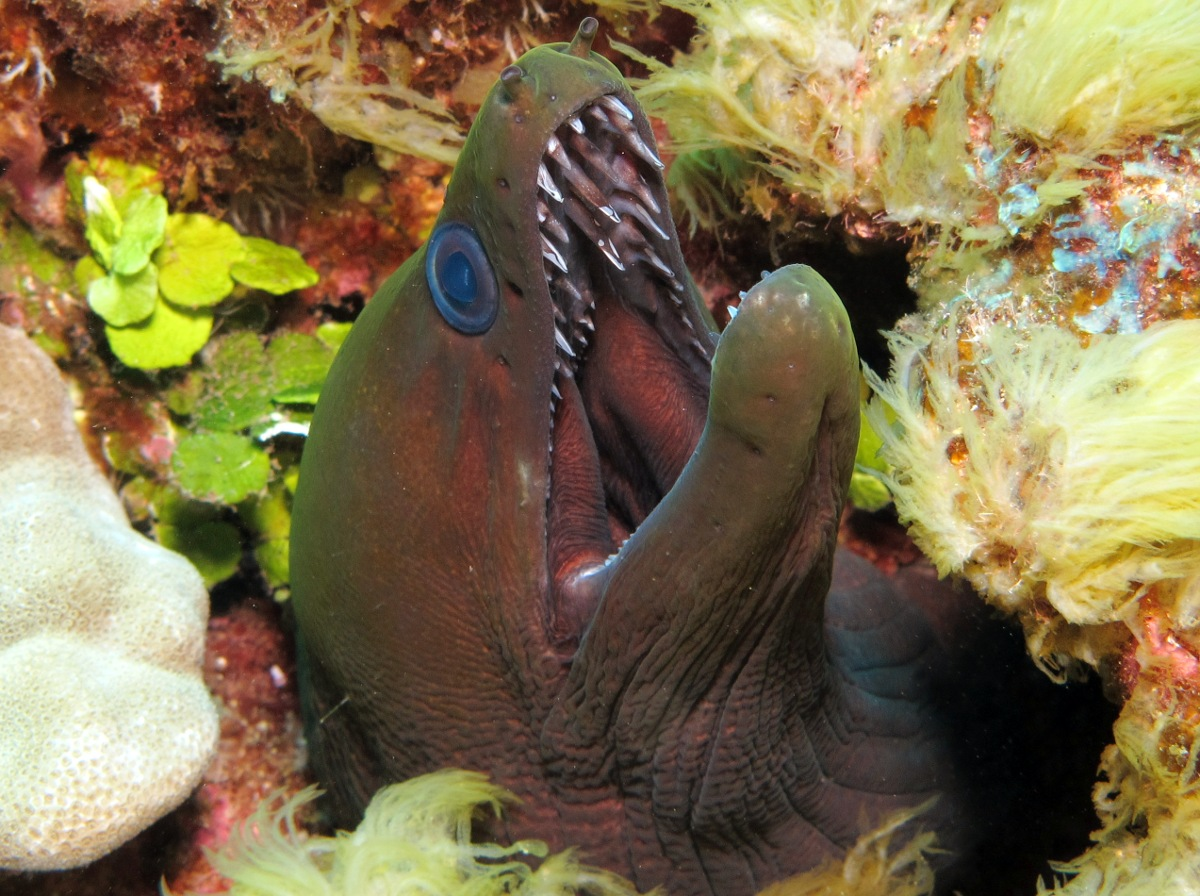Undulated Moray Eel - Gymnothorax undulatus