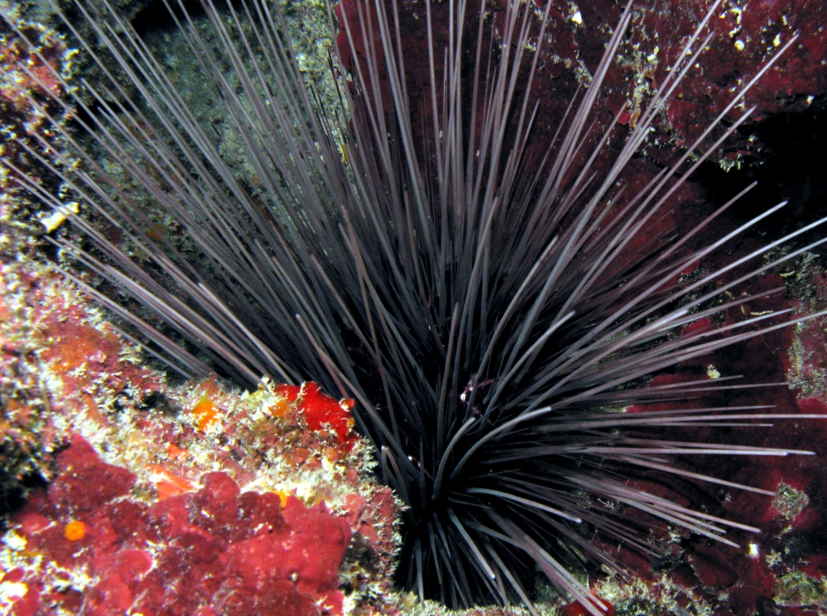 Long-Spined Urchin - Diadema antillarum
