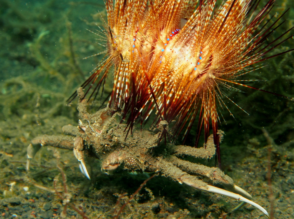 Urchin Carry Crab - Dorippe frascone - Lembeh Strait, Indonesia