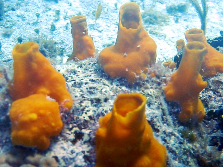 Variable Boring Sponge - Siphonodictyon coralliphagum