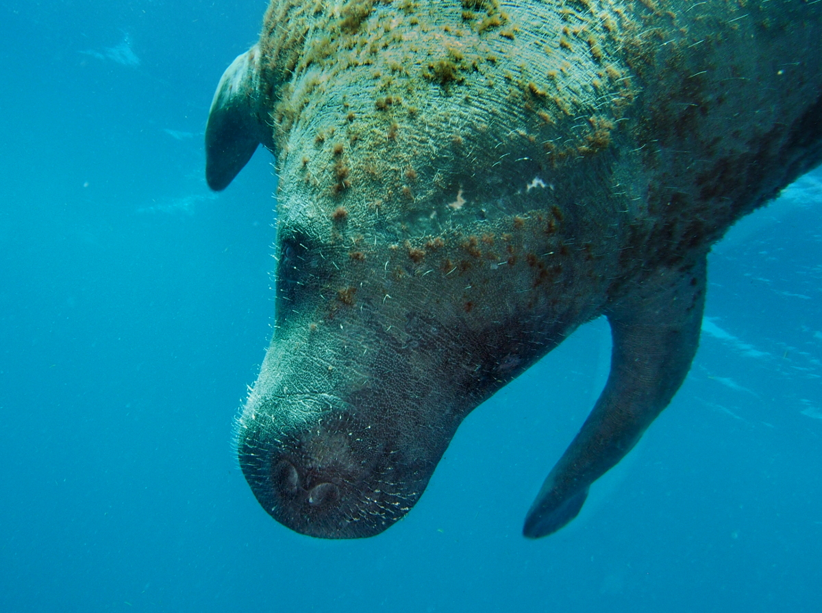 West Indian Manatee - Trichechus manatus
