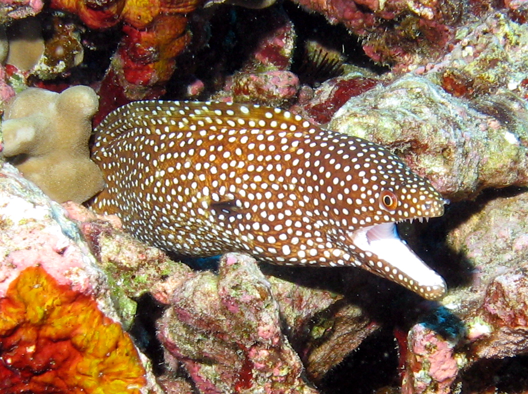 Whitemouth Moray Eel - Gymnothorax meleagris