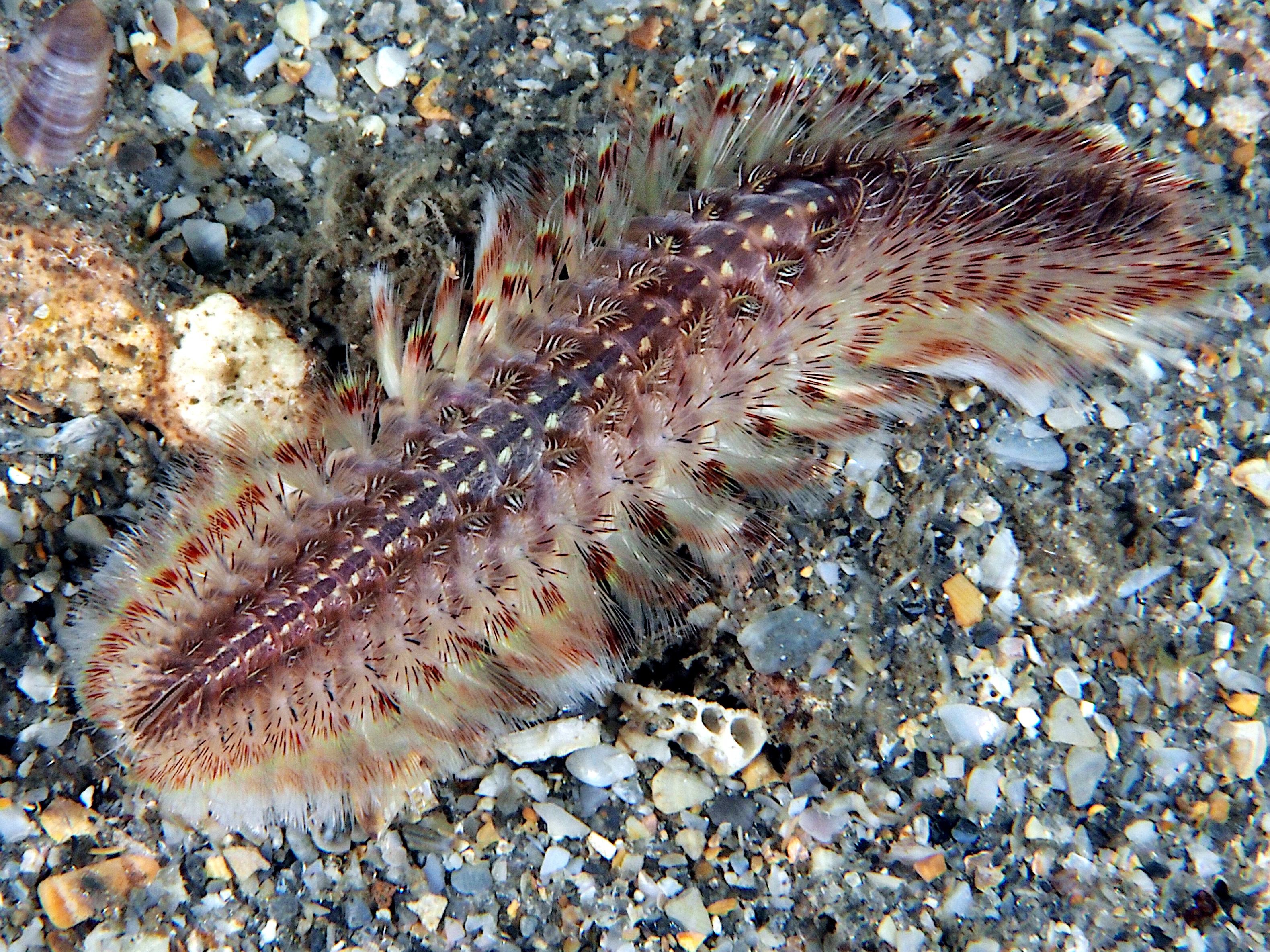 White-Spotted Fireworm - Chloeia sp.