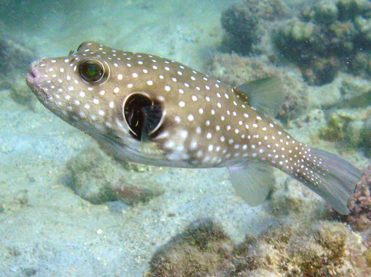 Whitespotted Puffer - Arothron hispidus