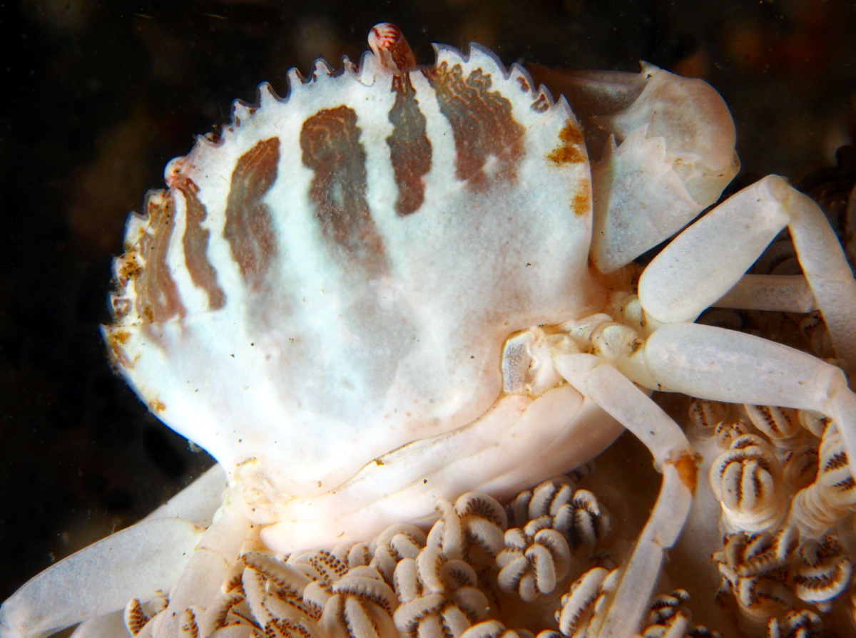Xenia Swimming Crab - Caphyra sp. 1