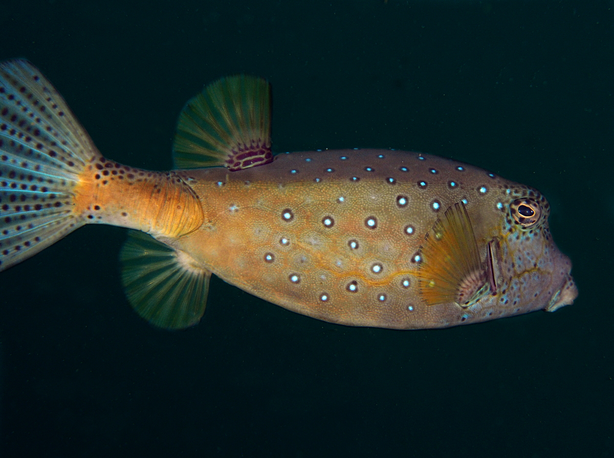 Yellow Boxfish - Ostracion cubicus
